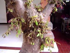 写真 BELIMANG WUの木 December 2003 撮影